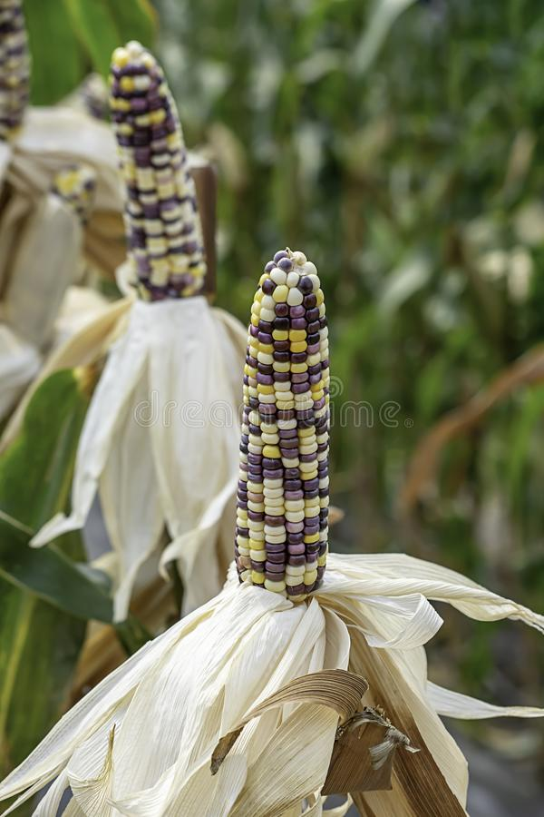 Corn with many colors in a pod on the tree at the farm show.  stock photo