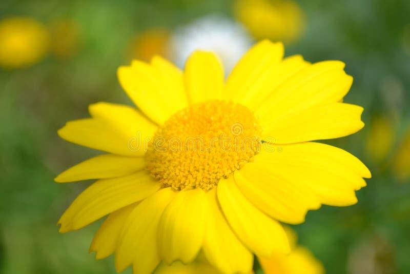 Corn Marigold royalty free stock photography