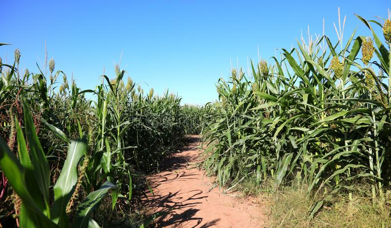 Download Corn Maze Path stock photo. Image of agriculture, adventure - 61251420
