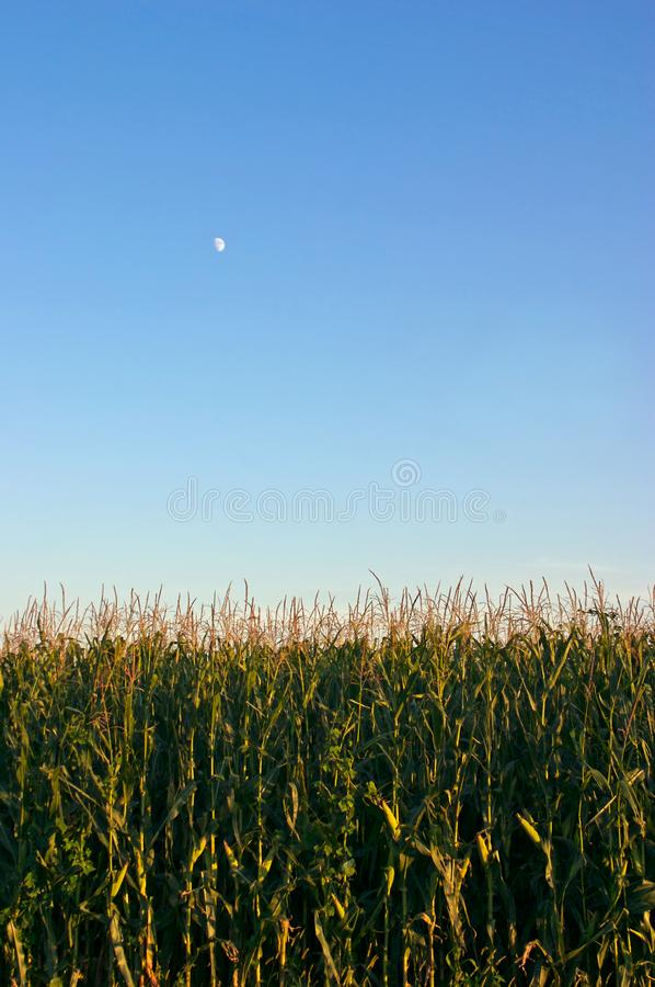 Corn and the Moon stock photo