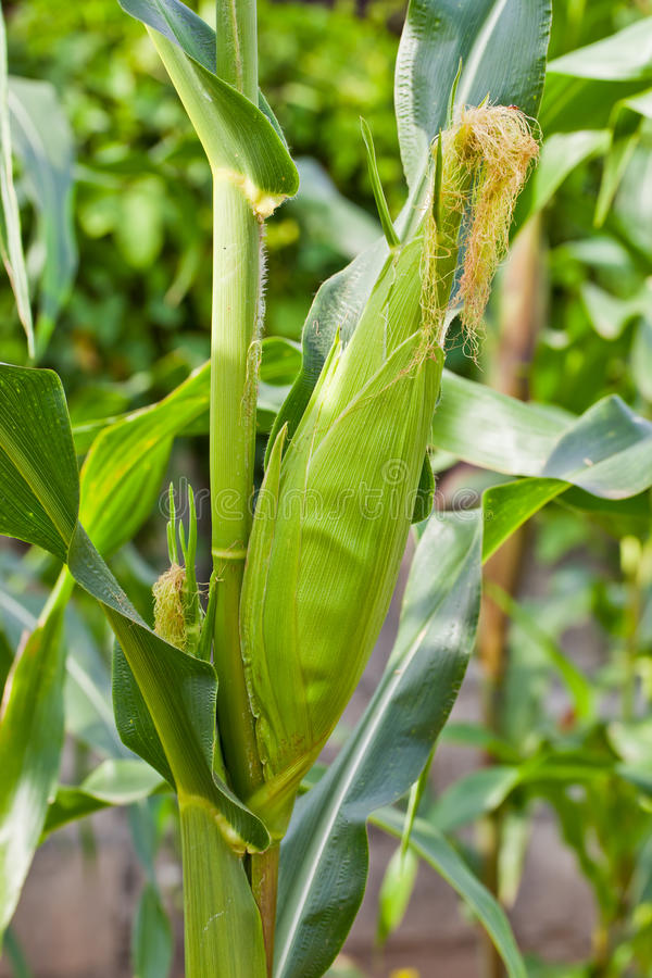 Free Corn On Stalk Stock Photography - 26319752