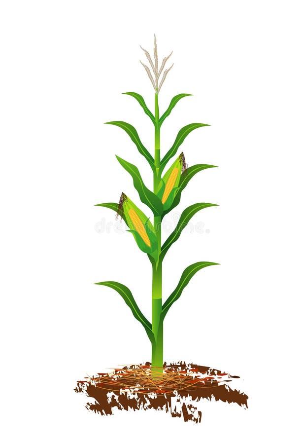 Corn plant vector illustration