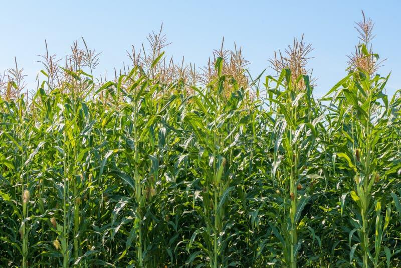 Corn plant field stock image