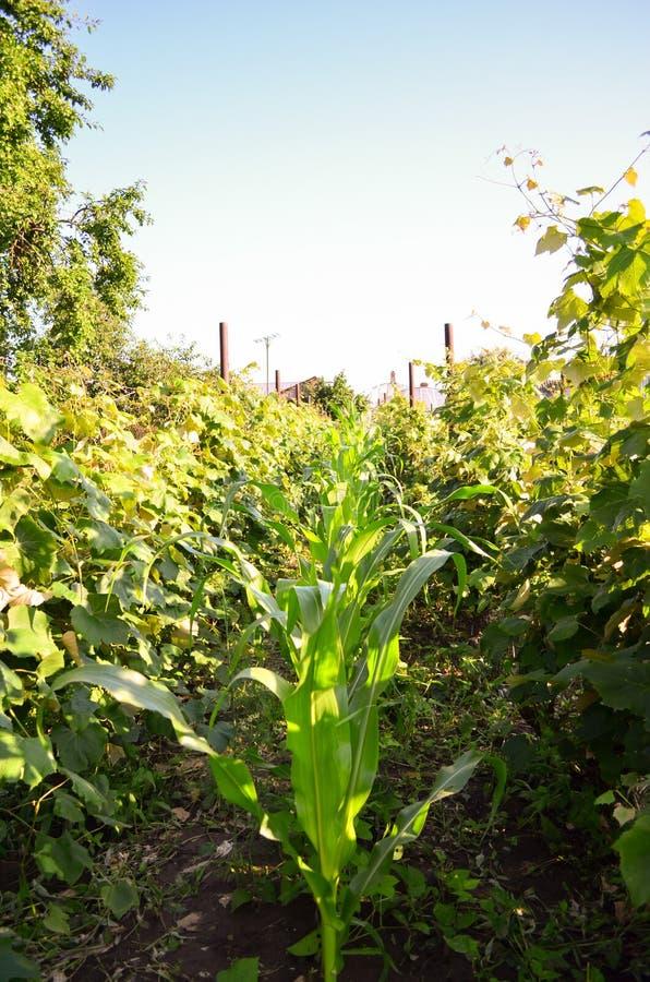 Corn plant stock image
