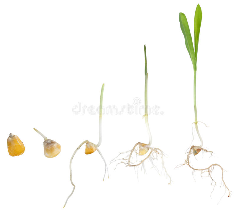 Free Corn Plant Growing Stock Images - 19857994