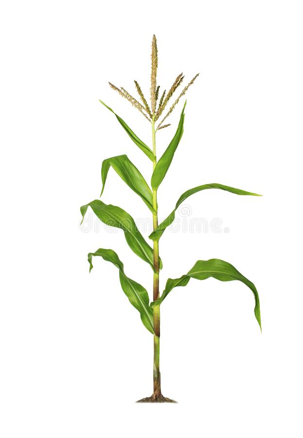 Free Corn Plant Isolated On A White Background With Clipping Paths For Garden Design Stock Image - 216299631
