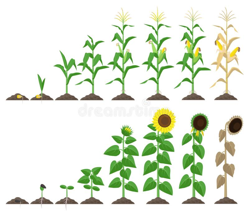 Corn plant and sunflower plant growing stages vector illustration in flat design. Maize and sunflower growth stages from vector illustration