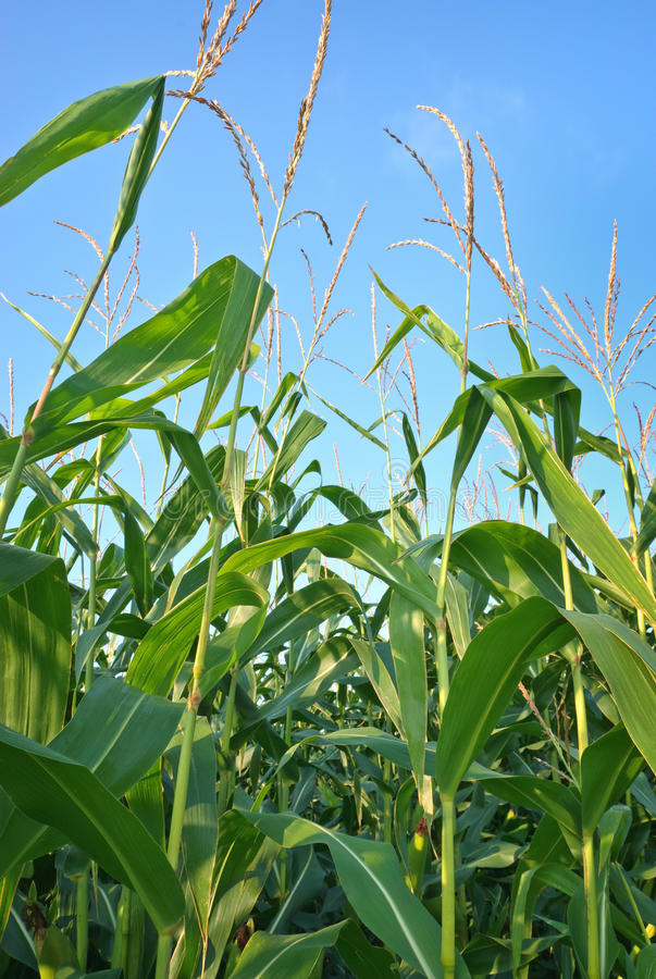 Download Corn Plants stock image. Image of plants, growing, green - 20197083