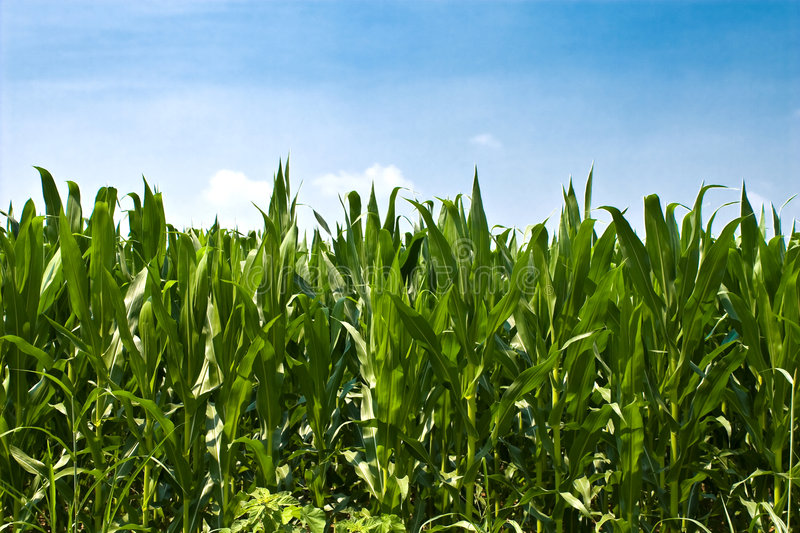 Download Corn Plants stock photo. Image of friendly, environmental - 5889194