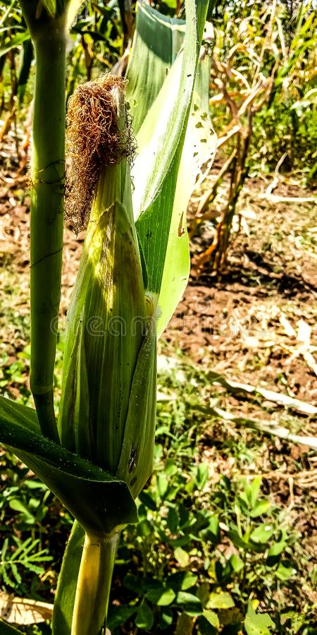 Corn plants stock photography