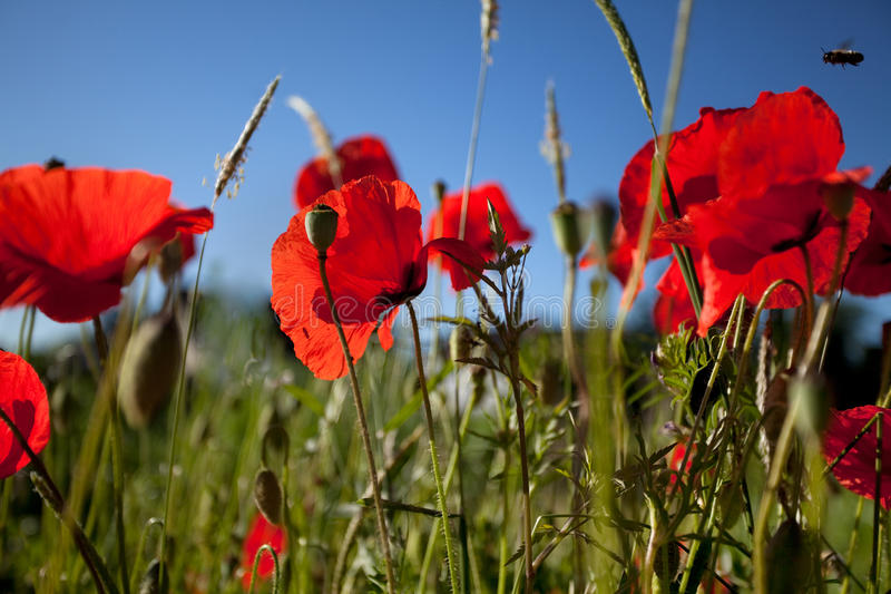 Corn Poppies stock images