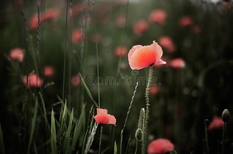 Corn Poppies royalty free stock images