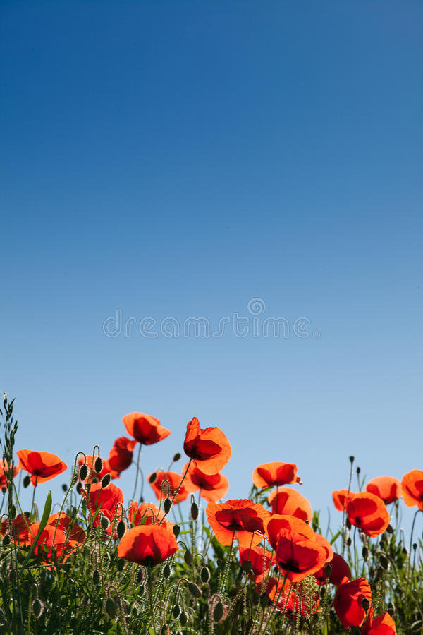 Corn Poppies stock photography