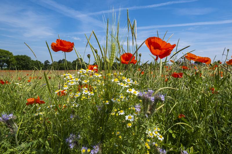 Corn poppy field in germany. Corn poppy and cornflower field, Inden near Dueren germany, spring 2019 royalty free stock photo