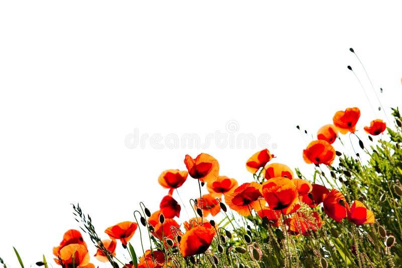 Corn Poppy Flowers royalty free stock photo