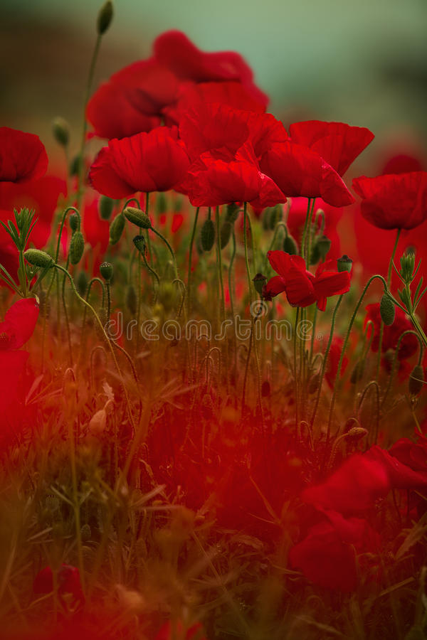 Corn Poppy Flowers stock photography