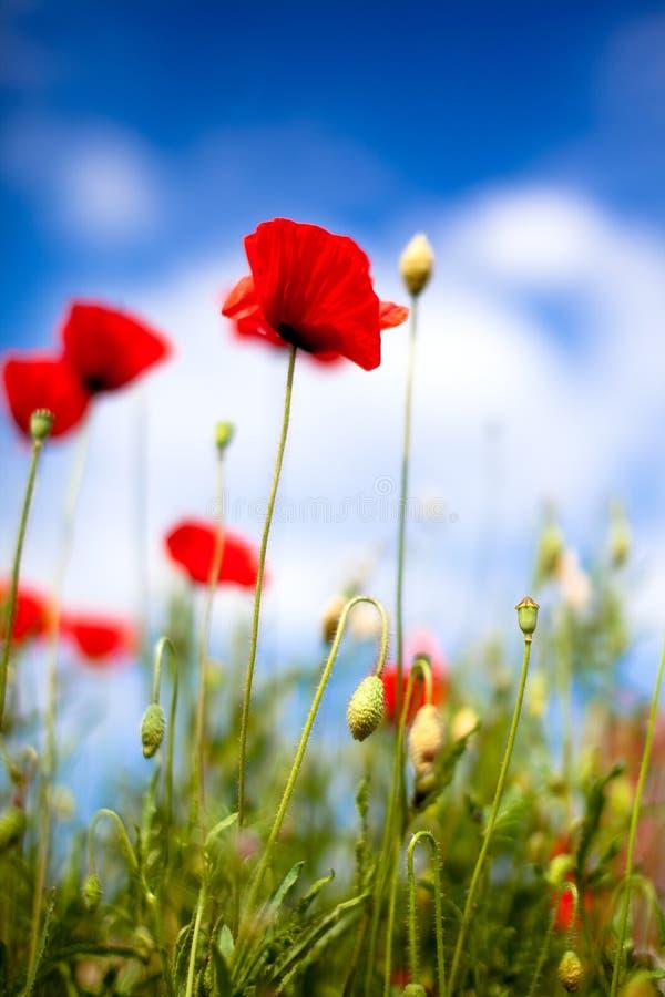 Corn Poppy Flowers Papaver rhoeas royalty free stock photo