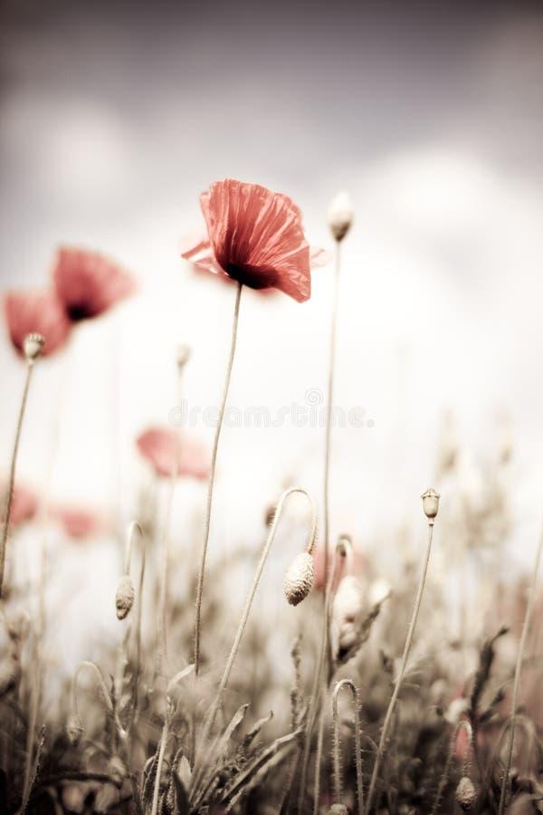 Corn Poppy Flowers Papaver rhoeas royalty free stock image
