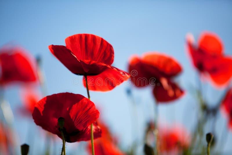 Corn Poppy Flowers Papaver rhoeas stock images