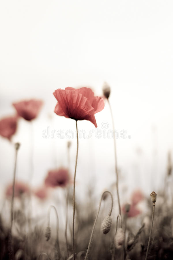 Corn Poppy Flowers Papaver rhoeas royalty free stock photography