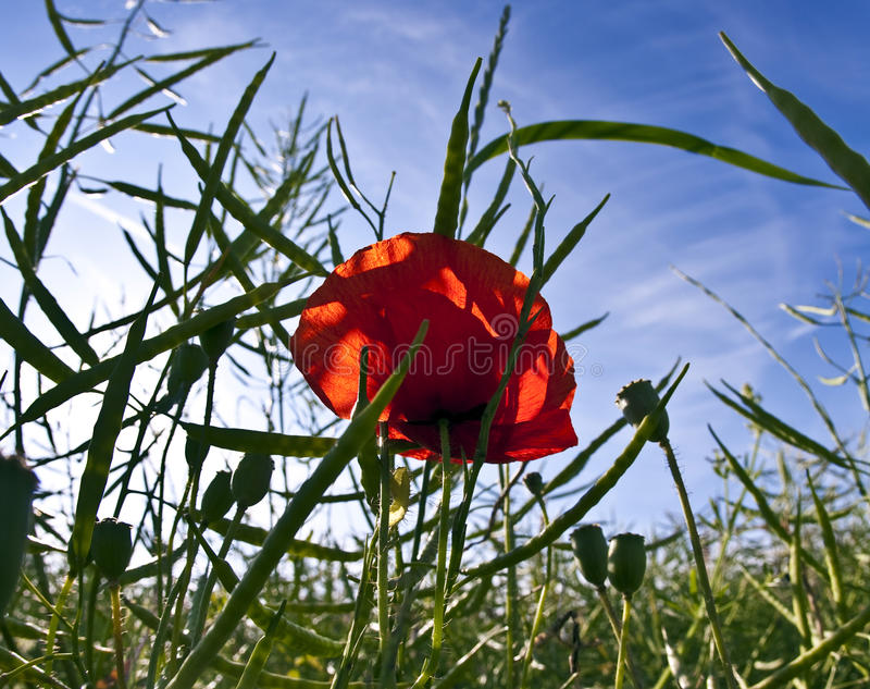 Corn poppy in a meadow in morning light royalty free stock image