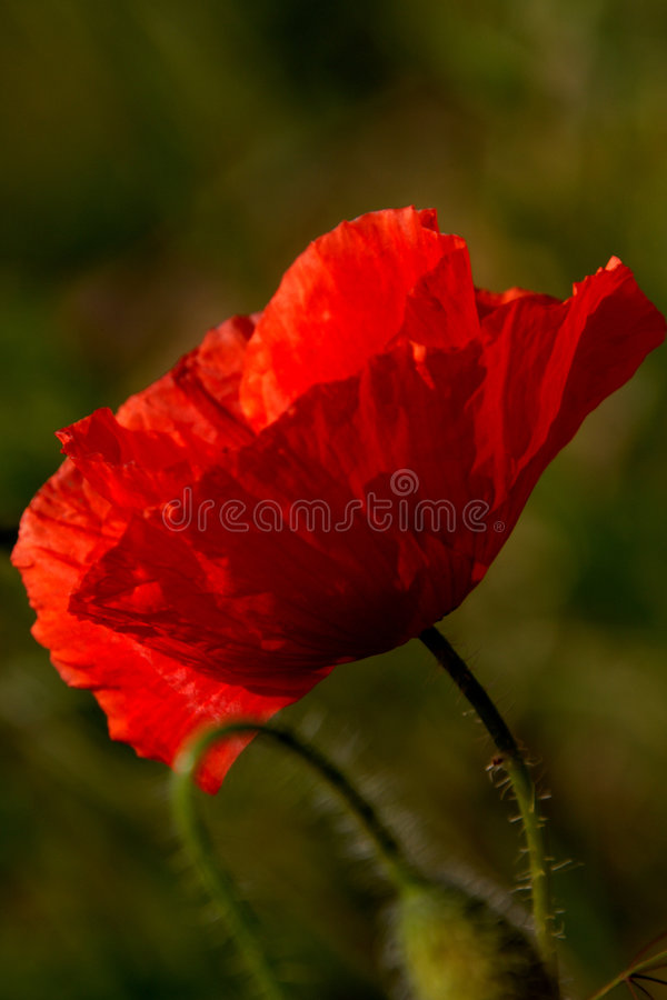 Corn poppy (Papaver rhoeas) royalty free stock photo