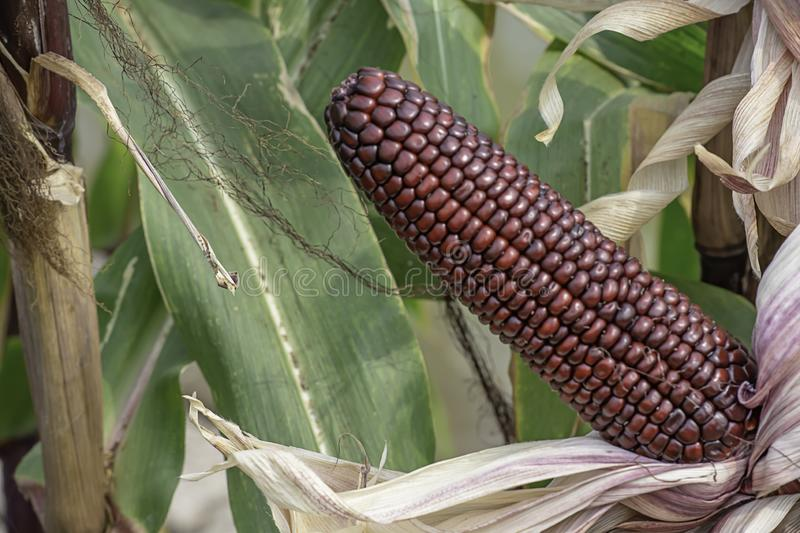 Corn with red pods on the tree at the farm show.  royalty free stock photography