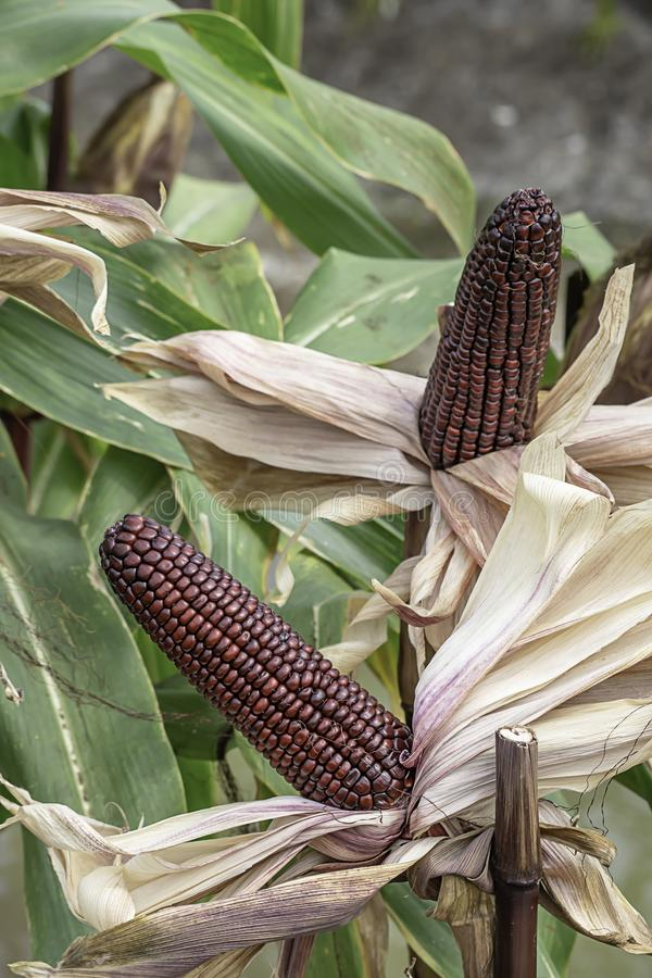Corn with red pods on the tree at the farm show.  royalty free stock photos
