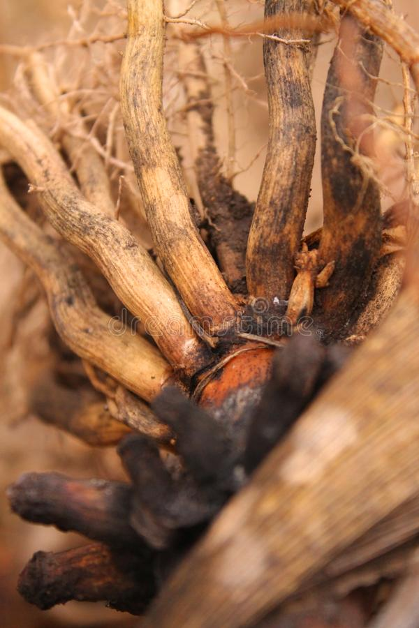 Corn root on the edge of the garden stock image