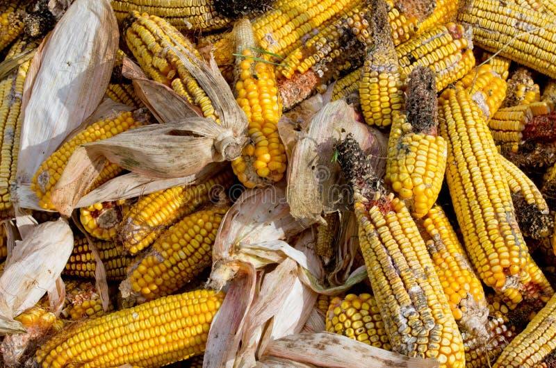 Corn rot stock photos