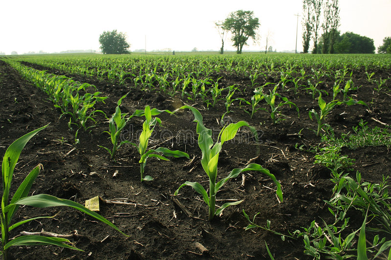 Corn rows. Rows of young corn in the afternoon sun stock photo