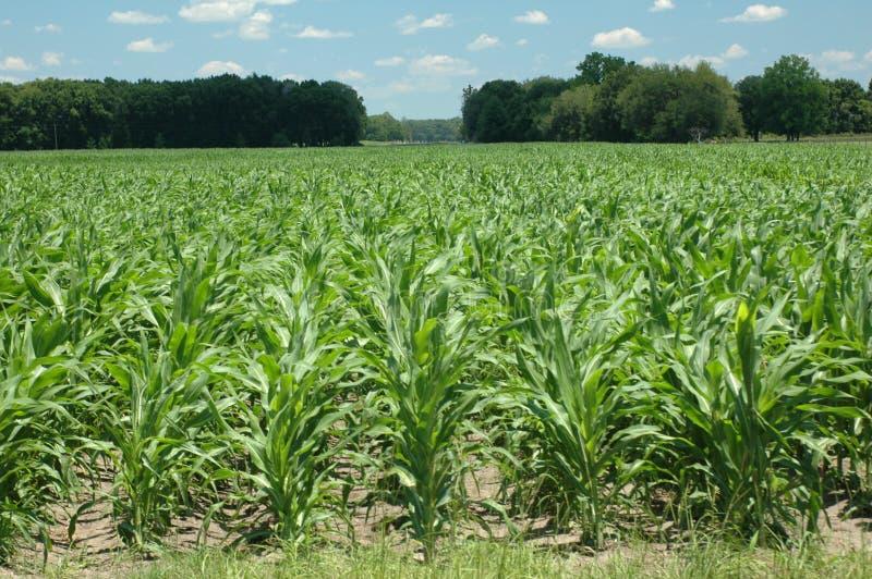 Corn_rows photos stock