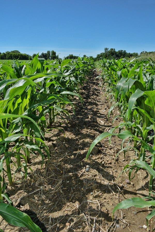 Corn Rows royalty free stock image