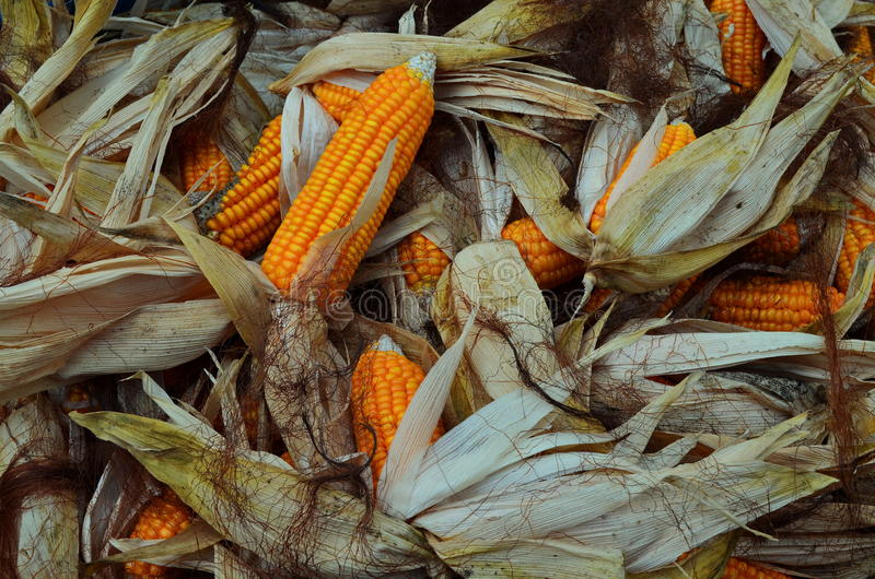 Corn for Sale. Maize, commonly known as corn, is a large grain plant first domesticated by indigenous peoples in Mexico about 10,000 years ago. The six major royalty free stock photo