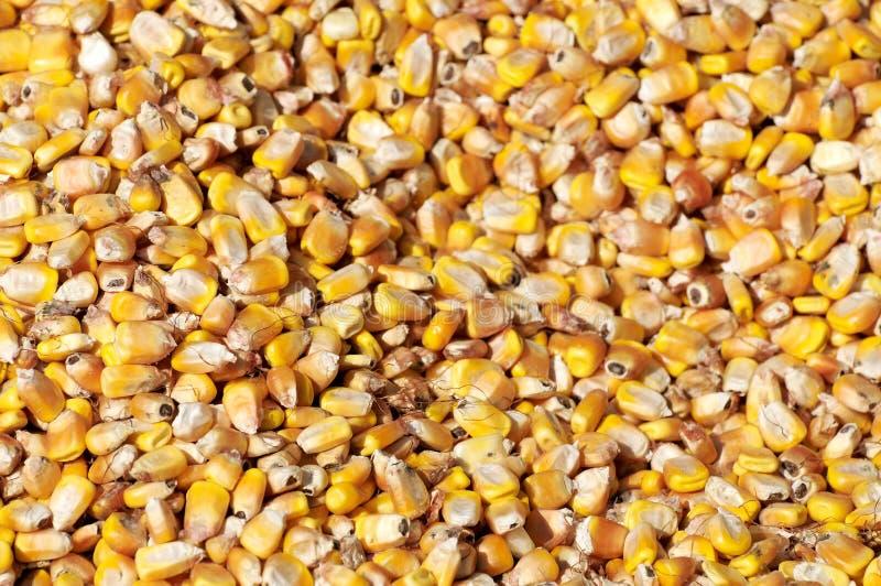 Corn Seed Royalty Free Stock Photos
