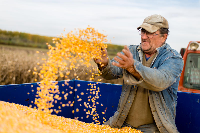 Corn seed in hand of farmer. stock photography