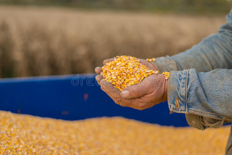 Corn seed in hand of farmer. Agriculture image royalty free stock photography