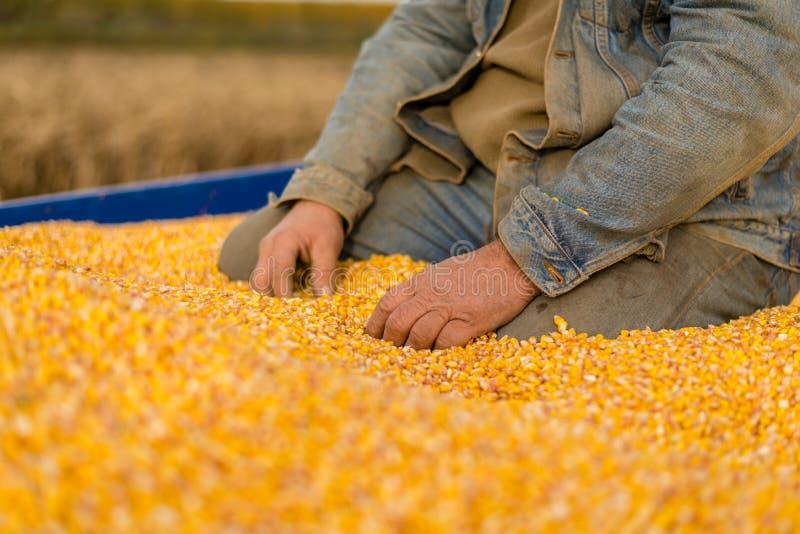 Corn seed in hand of farmer. stock image