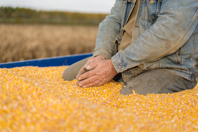 Corn seed in hand of farmer. royalty free stock photos