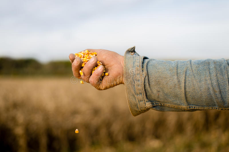 Corn seed in hand of farmer. royalty free stock image