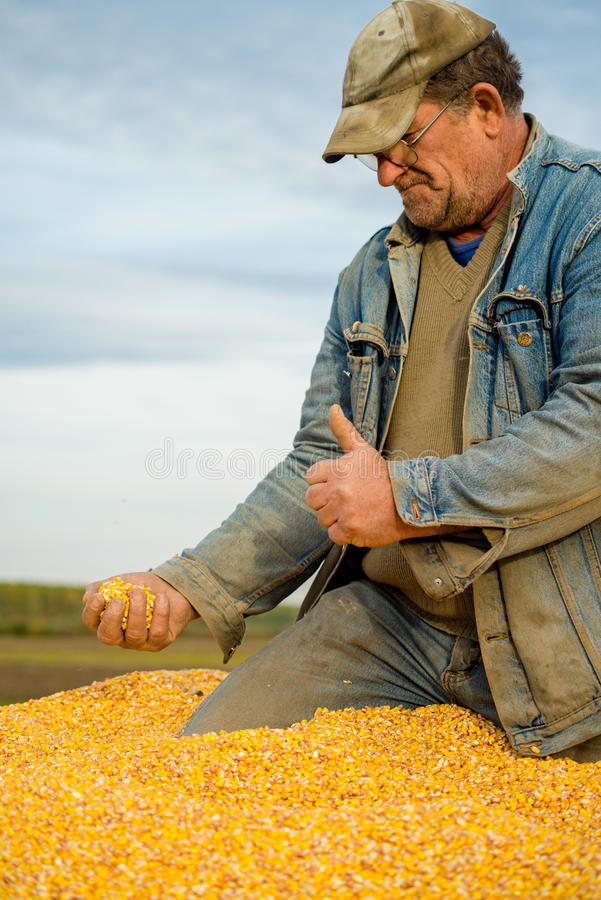 Corn seed in hand of farmer royalty free stock photos
