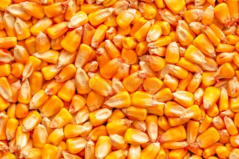 Corn seed kernels heap. After harvest, seen from above royalty free stock photos