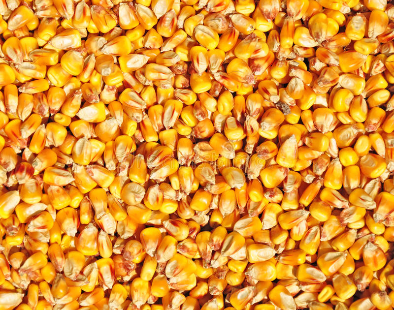 Corn seed texture royalty free stock image