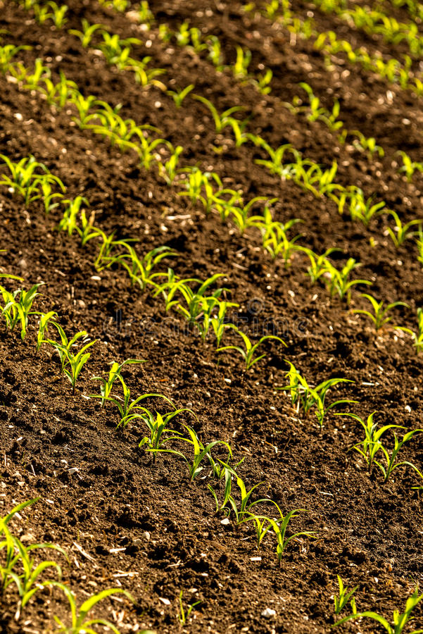 Corn seedlings on a field royalty free stock image