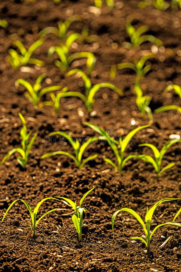 Corn seedlings on a field royalty free stock photos