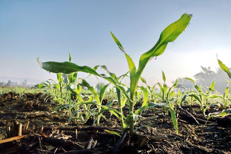 Corn seedlings royalty free stock photography