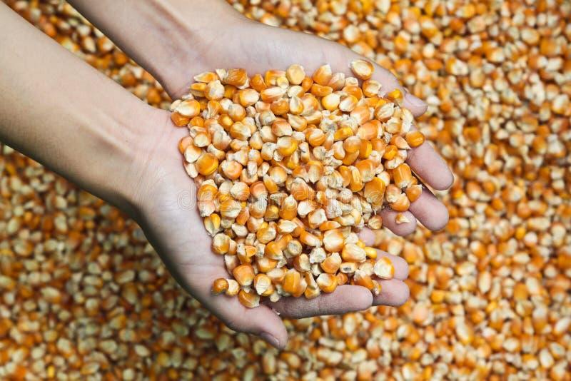 Corn Seeds Royalty Free Stock Photos