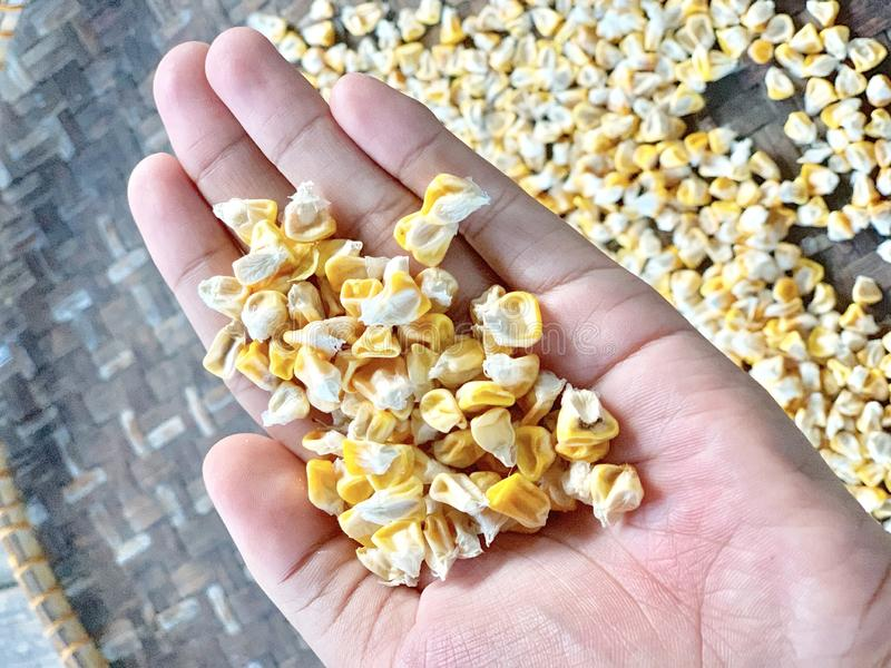 Corn seeds are in the palm. royalty free stock photos