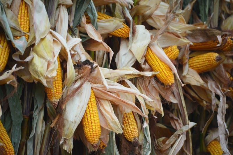 Corn Shucks royalty free stock photos