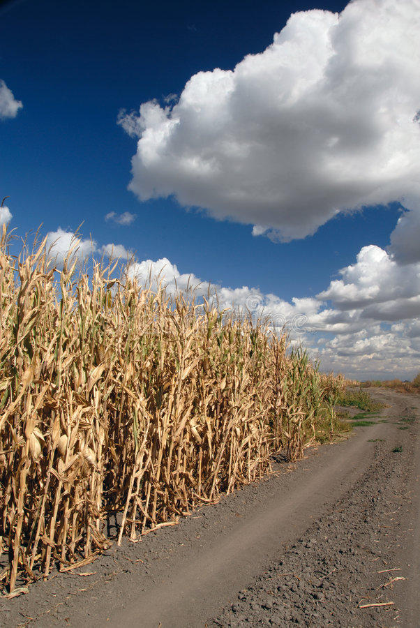 Download Corn And Skies stock photo. Image of ethanol, september - 3509462